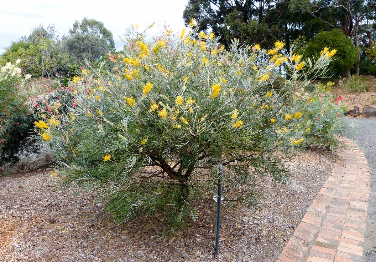 Simon Goodwin On Twitter Grevillea Bush Lemons Fast Growing To
