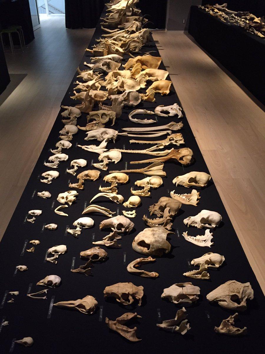 文京区教育センターで開催中の東大博の企画展『骨を見る 骨に見られる』。 特に解説もなく、でも意図を持って陳列されてる大量の骨のインパクト。 https://t.co/yw20rCndUQ