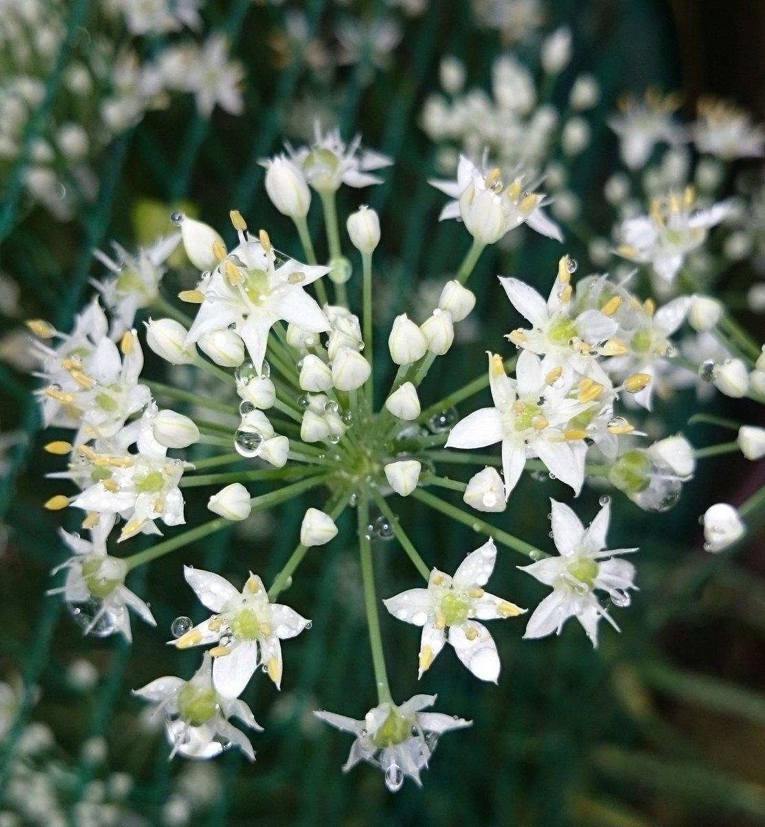 おはようございます  コロコロ、キラキラ雨の雫..✨✨✨ お花を優しく耀かせてくれるね。.:*☆ バッタにも雫✨(笑) 邪魔してごめんね