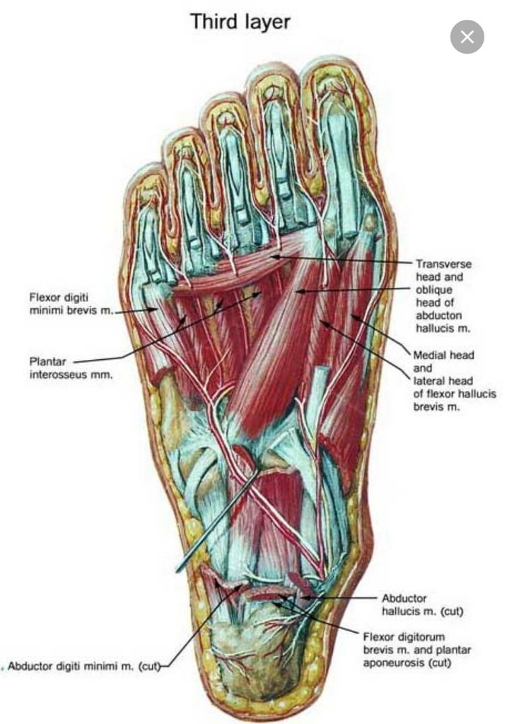 Bottom Foot Muscle Diagram | Diagram