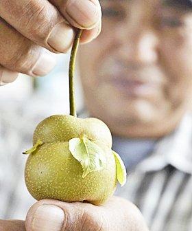 実から葉が出ました。 「福島市笹谷の佐藤恒男さん(68)のナシ畑で、だるまのような形をしたナシが収穫され、近隣の農家から驚きの声が上がっている。佐藤さん「実から葉が出ることは普通はあり得ない。なぜこんな実ができたのか不思議」」 https://t.co/UVntnCNkN2