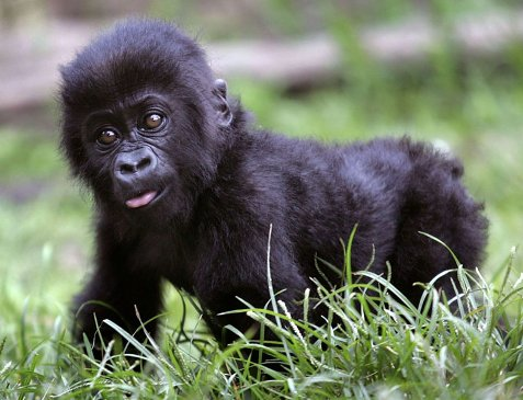 Baby gorilla is named Harambe McHarambeface after zoo holds public vote https://t.co/9qy09B5VI0