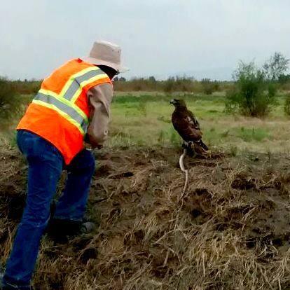 ¿Ya viste esta increíble foto? ¡Un águila con una serpiente que apareció en el terreno donde se construye el #NAICM! https://t.co/BvUleajCl6