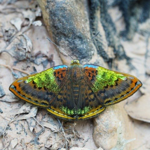 Project Noah is in Peru today with this beautiful Riodinid butterfly as our Spot of the Day! https://t.co/hWk5St2pwc https://t.co/wOR1vMl4zf