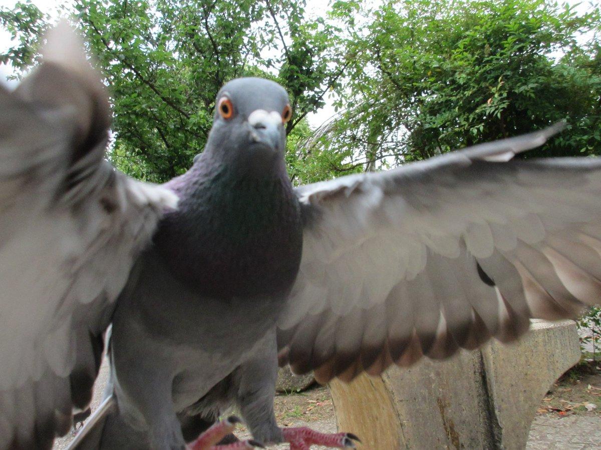 僕の膝に着地する寸前の鳩です。 すごく見てます。