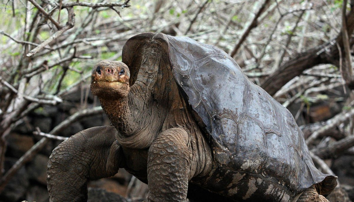 A tortoise had so much sex that he's 'saved his entire species' https://t.co/ooRXARkD6W