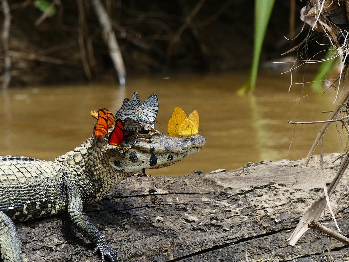 A Caiman Covered in Butterflies Photographed by Mark Cowan https://t.co/pzVfXw9nbr https://t.co/LgjNZBzjOR