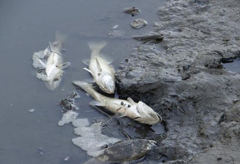 Японские рыбки кои рисунок аренде, сдаче