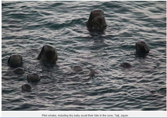 These pilot whales including new born WI...