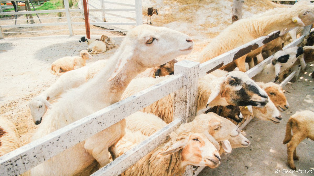 "Rikachan~ 🏝 Travel List 🌏 on Twitter: ""Khonyok Sheep Farm ฟาร์มแกะนครนายก  https://t.co/1RVfRXfuy0 #เที่ยวไทย #ReviewThailand #Thailand #travel  #นครนายก… """