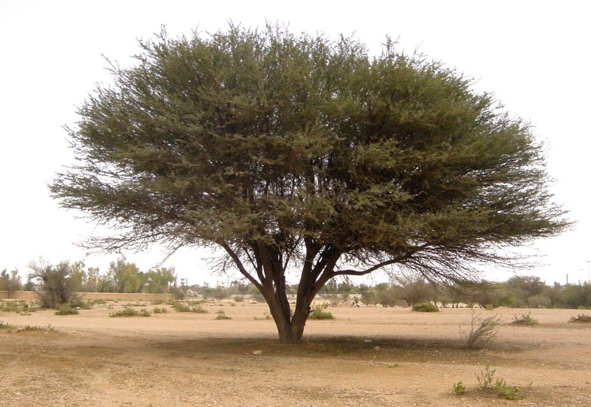 شتلات بري ة Na Tviteru شجرة السيال هي أحد أنواع السنط المنتجة لـ الصمغ العربي