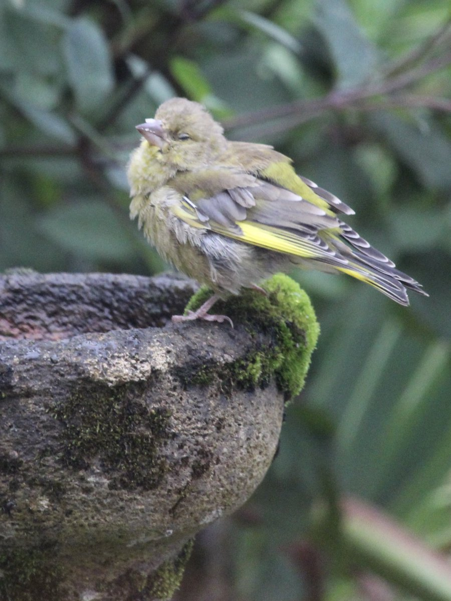 At least 4 finches suffering with disease in grdn yesterday, bloated, crusted feet, slow to react @Team4Nature300 https://t.co/kRj3dyWkpF