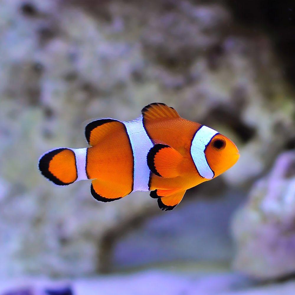 Clownfish for Skype Free realtime language translator
