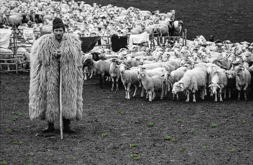 измельчим сахар пастух и овцы картинки для этой разновидности
