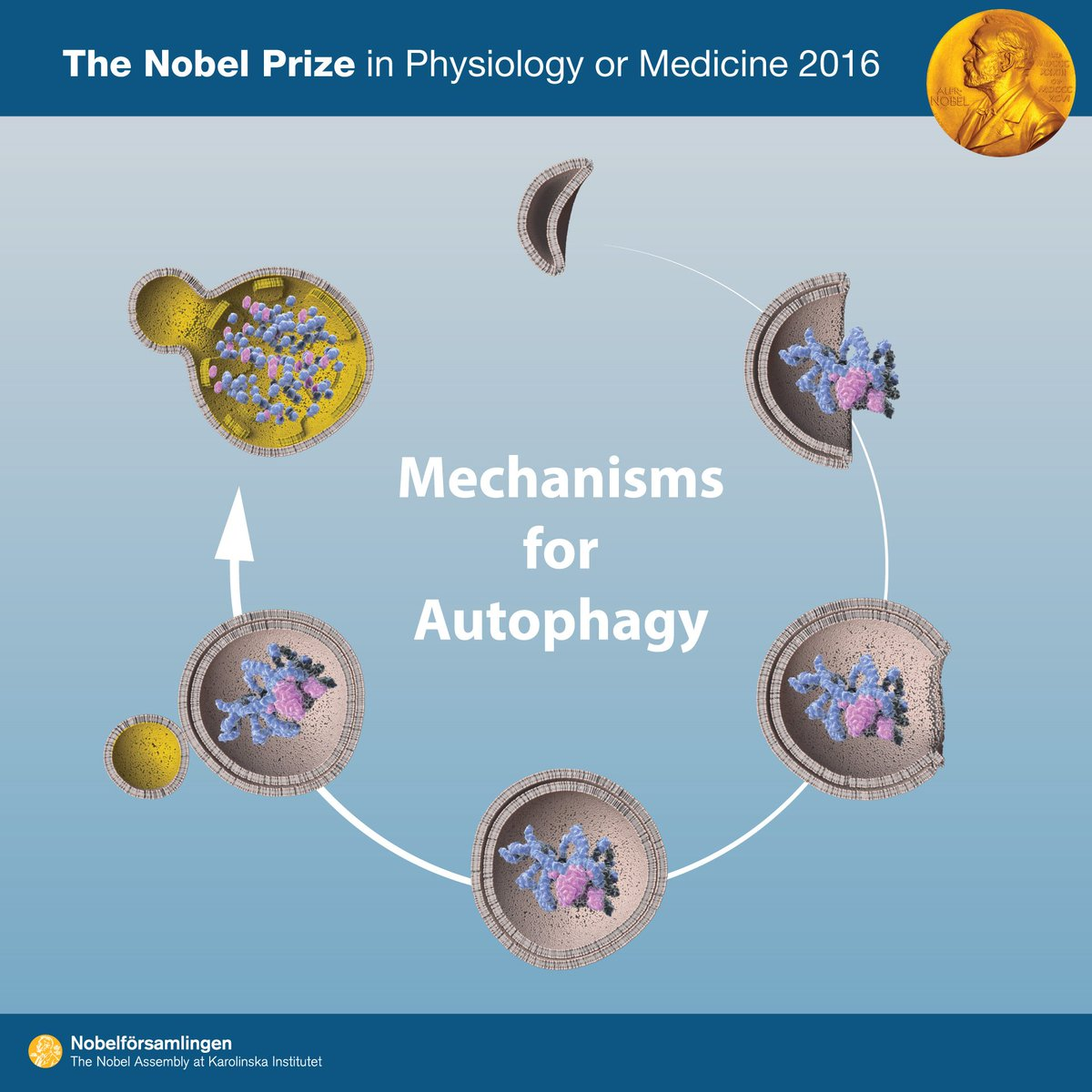 "Autophagy ""self eating"" is a process for degrading and recycling cellular components #NobelPrize #Medicine"