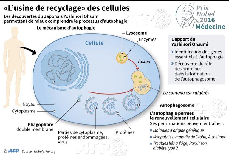 Le #Nobel de médecine a récompensé le Japonais Ohsumi pour ses découvertes sur l''usine de recyclage' des cellules… https://t.co/d1MZxPeaE6