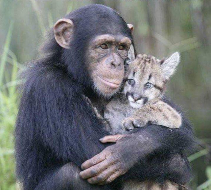 Картинки по запросу обезьяна и тигр