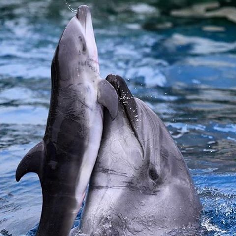 Traumatized #Taiji dolphin kills her own baby in Japanese aquarium: https://t.co/mbmunw63FO https://t.co/WZjCyfqgOI
