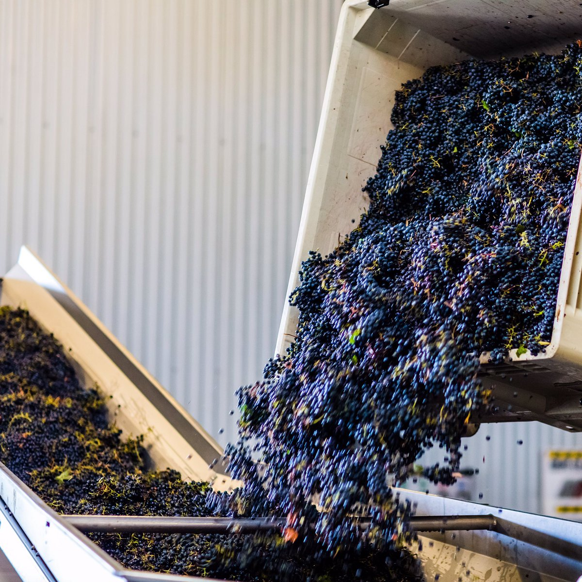 Still cool from the early-morning pick, these beautiful clusters are headed to the sorting table #lifeisacabernet https://t.co/9BwdPsXqom
