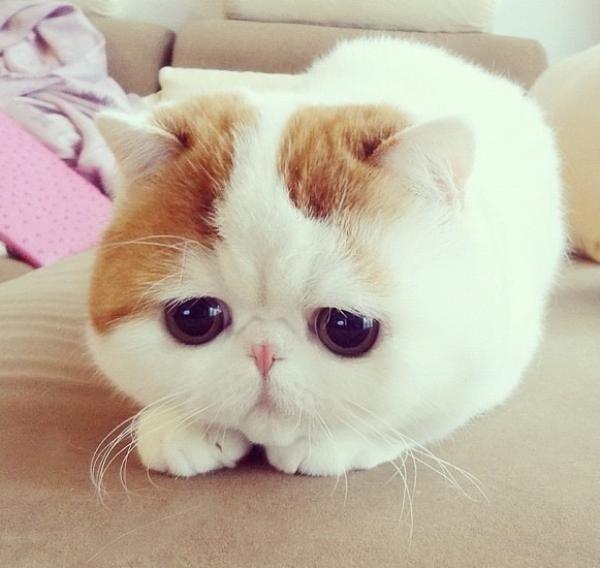 ヘア エキゾチック ショート エキゾチックショートヘアの子猫を探す|専門ブリーダー直販の子猫販売【みんなの子猫ブリーダー】