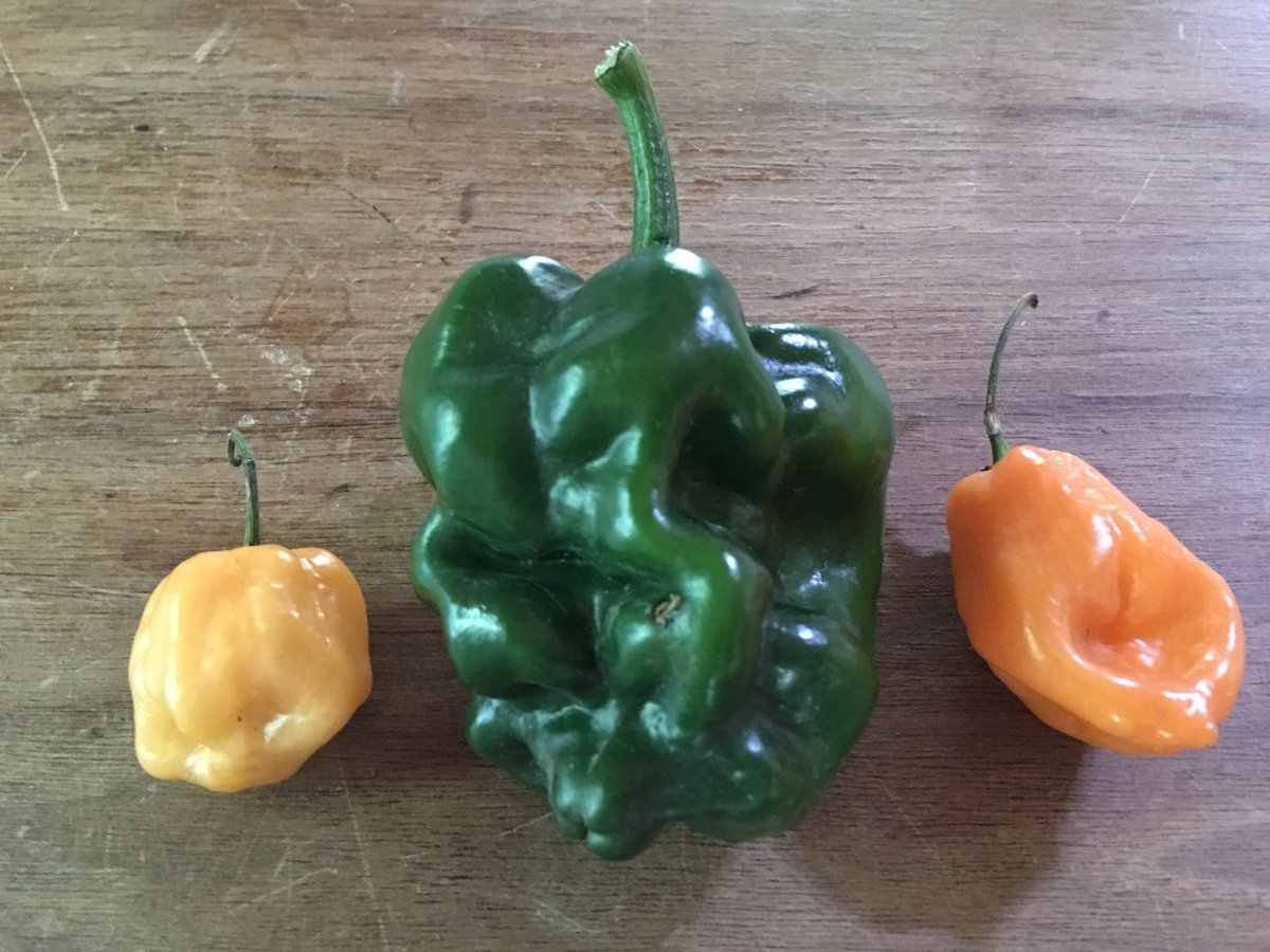 "Meet ""El Poblanero"" - a cross between poblano chile and habanero that I inadvertently grew this year #nm https://t.co/GLurazpGPY"
