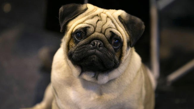 British veterinary group warns against pugs, American dog lovers respond