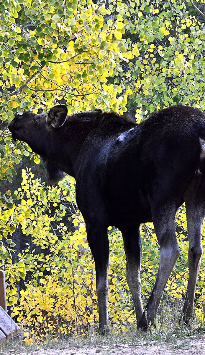 This beast in Black Hawk is chowin' down on that gorgeous fall foliage!: Judi Williama 9wx cowx