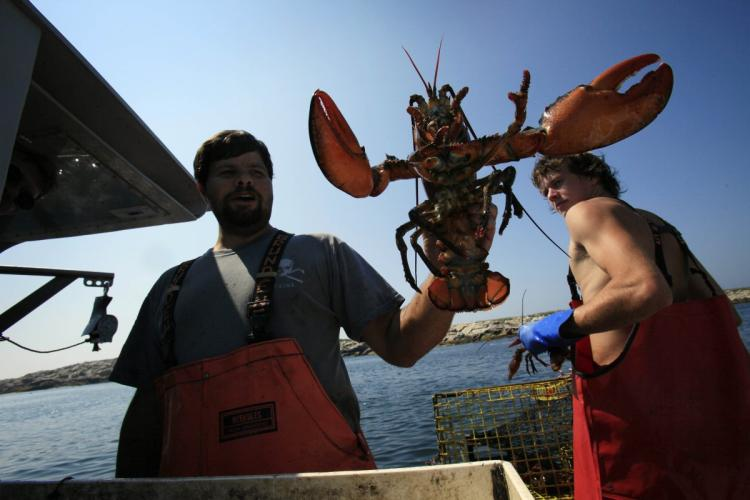 Lobsters may not survive if the ocean temperatures keep rising