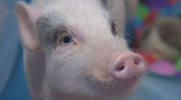 Thieves caught on camera trying to steal pet pig named Sprinkles