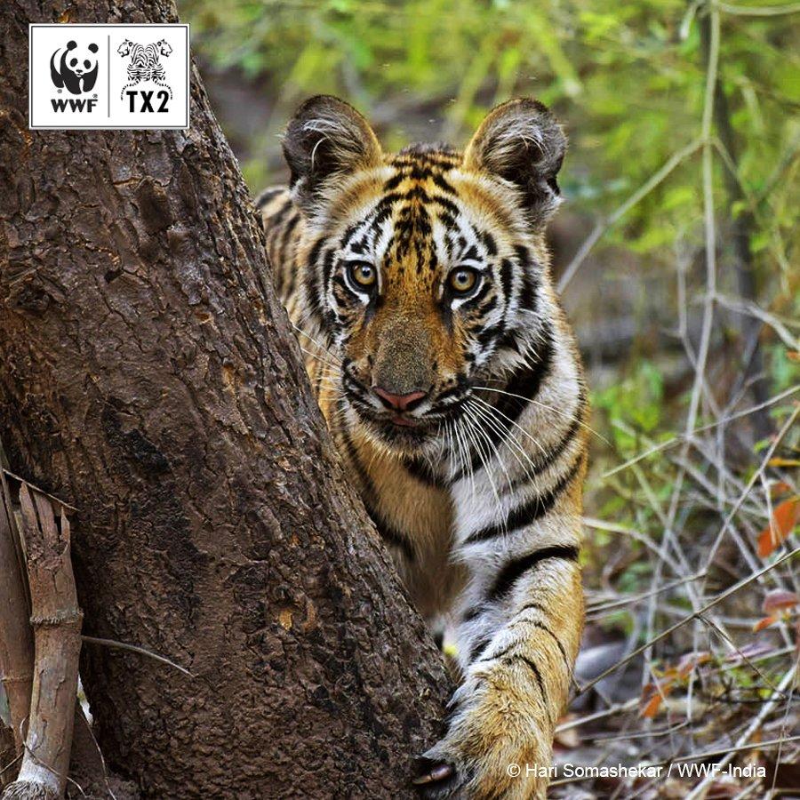 WWF Tigers (@WWF_tigers) | Twitter