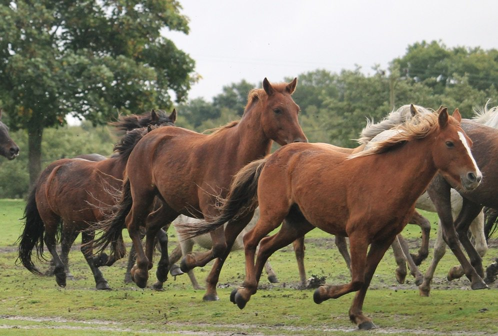 """An 1838 description of #NewForest ponies: """"firmly knit, have much strength and spirit, and are remarkably sure-footed"""". <br>http://pic.twitter.com/tBHGYILsMg"""