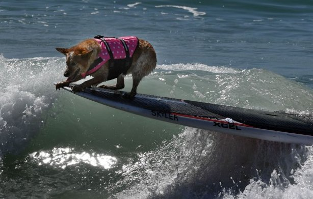 Need a break from debatenight? Here's some photos of dogs surfing.