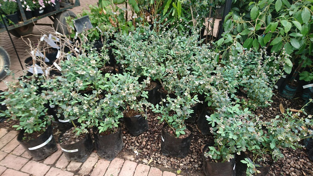 Blueberry plants at Lifestyle Garden Centre