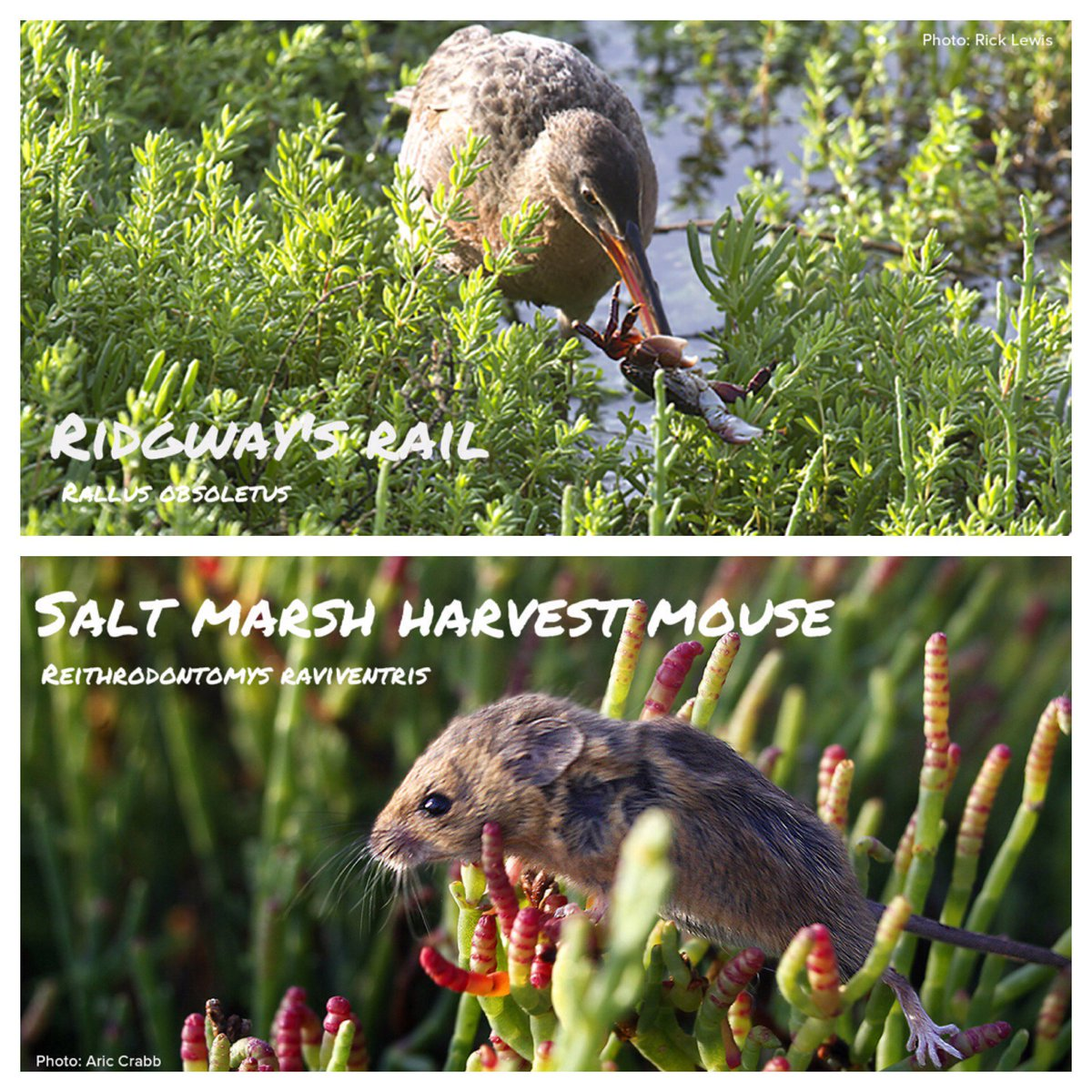 #SFBayDay is just 2 days away! Here are 2 endemic & endangered species that depend on healthy wetlands to survive! https://t.co/qJoEv8w0LB
