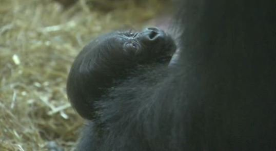 It's a ...! @phillyzoo announces the gender of their new baby gorilla. The reveal, on Action News at 4