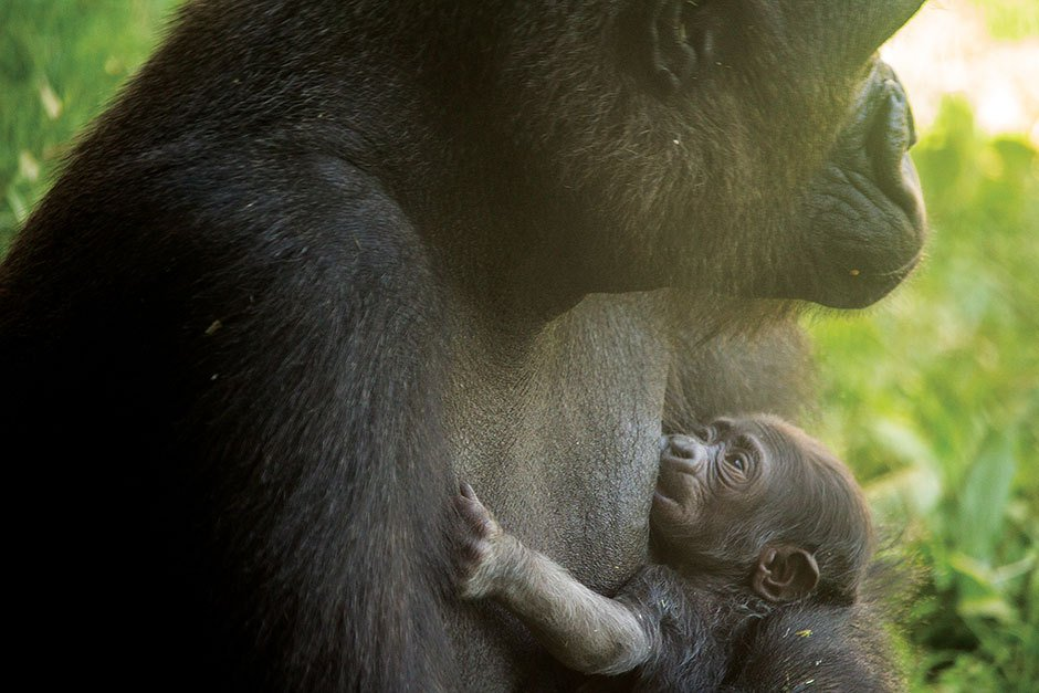 The Philadelphia Zoo Says You Can't Name Its New Gorilla Harambe