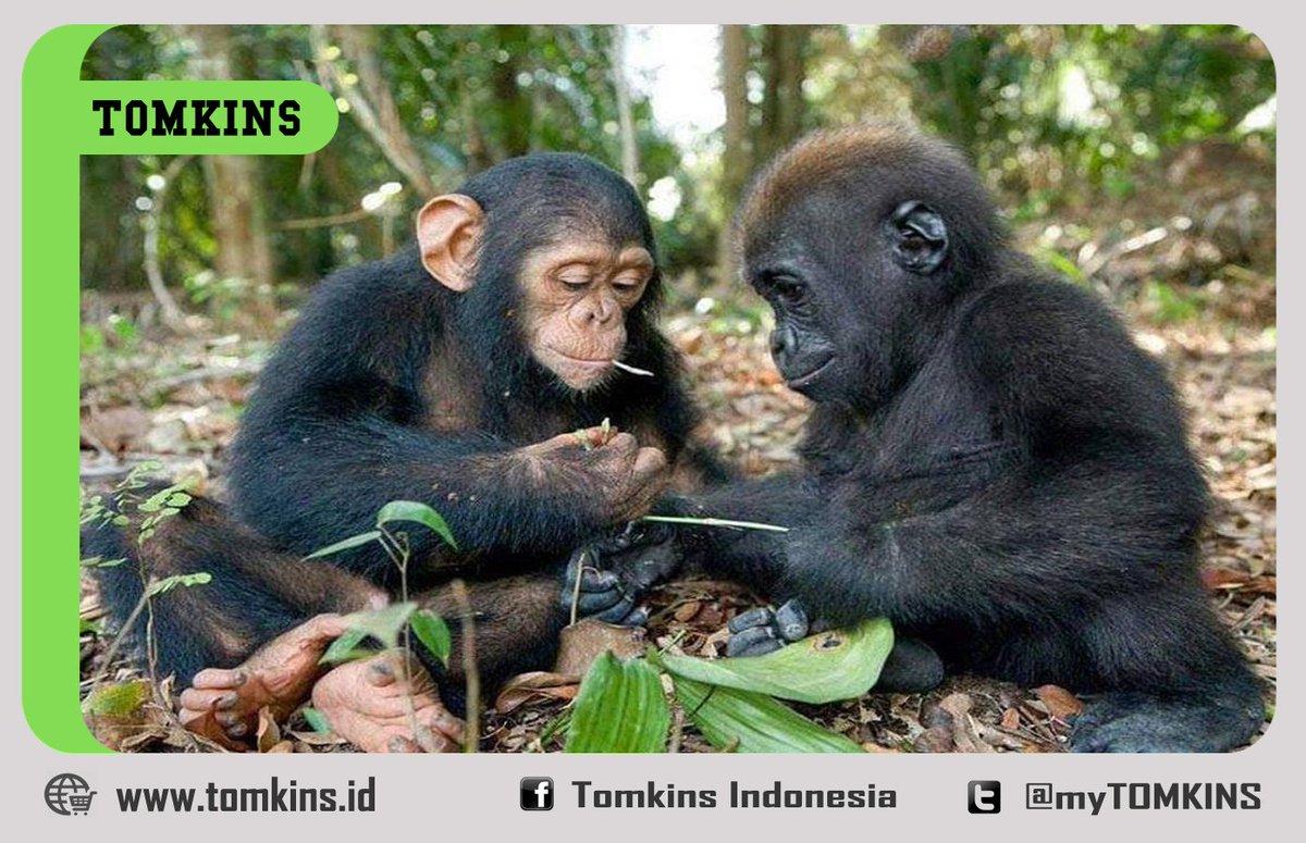 "tomkins indonesia on twitter: ""simpanse lucu ini sedang bermain"