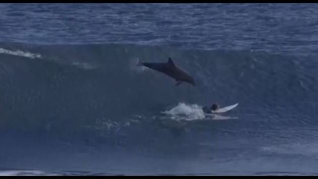 Dolphin jumps out of water, onto surfer.