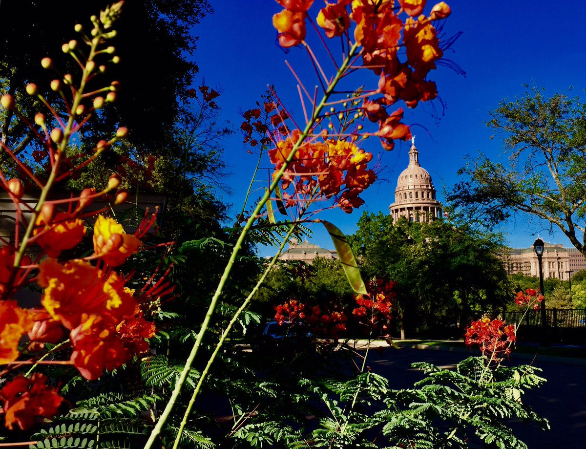 Fall flowers at the TX Cap @fox7austin