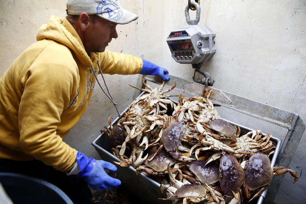 Dungeness crab get qualified thumbs-up in tests for domoic acid. via @taraduggan