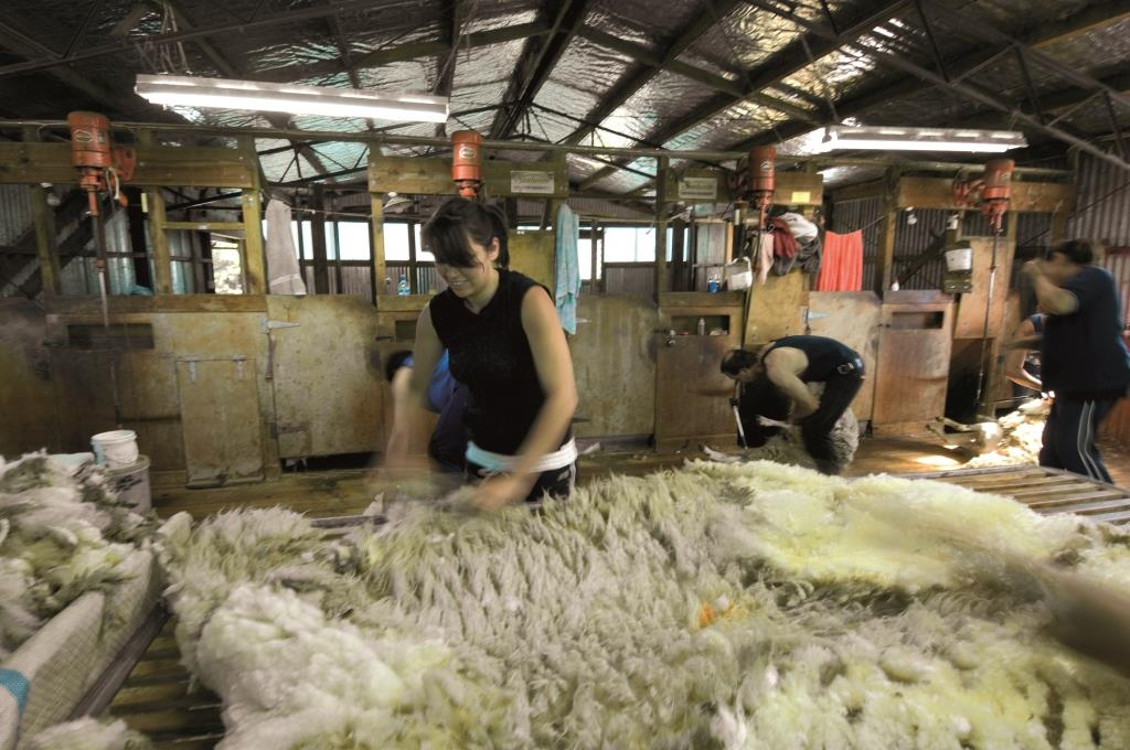 Worksafe New Zealand On Twitter New Sheep Shearing