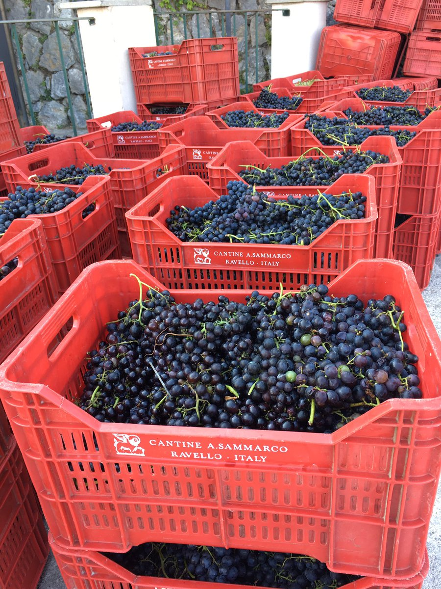 It's vendemmia time on the #AmalfiCoast! Check out these grapes on the way to become wine in #Ravello. https://t.co/oCgrVvx9F9