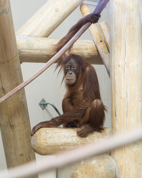 @DenverZoo welcomes new Sumatran orangutan from Germany