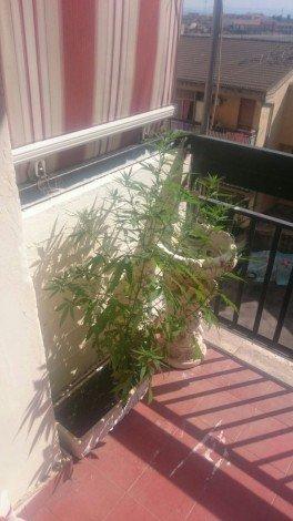 Per la Cassazione non è reato coltivare una piantina di marijuana  ... - https://t.co/Mgg2Q2dCAl #blogsicilianotizie