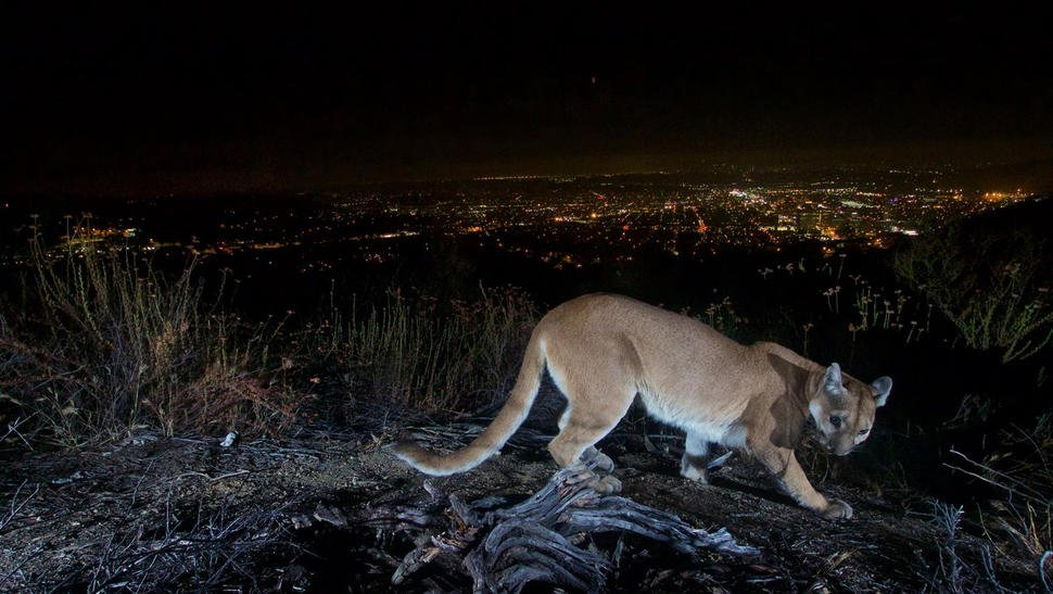 Get my good side: Mountain lion spotted in Verdugo Mountains