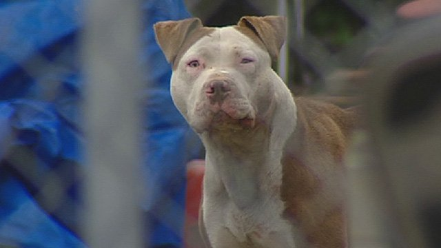 Montreal passes controversial pit bull ban following fatal mauling >>