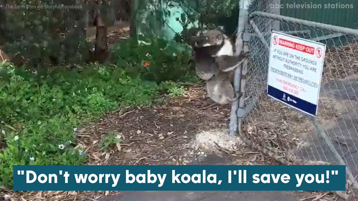 Koala mom rescues joey caught on fence