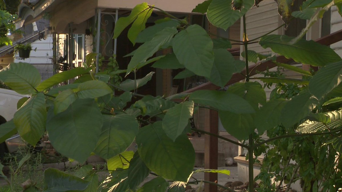 DEA ban on Kratom plant could happen as early as Friday KSATnews