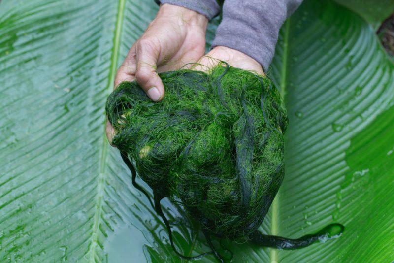grüner Smoothie aus Spinat, Kiwi und Spirulina