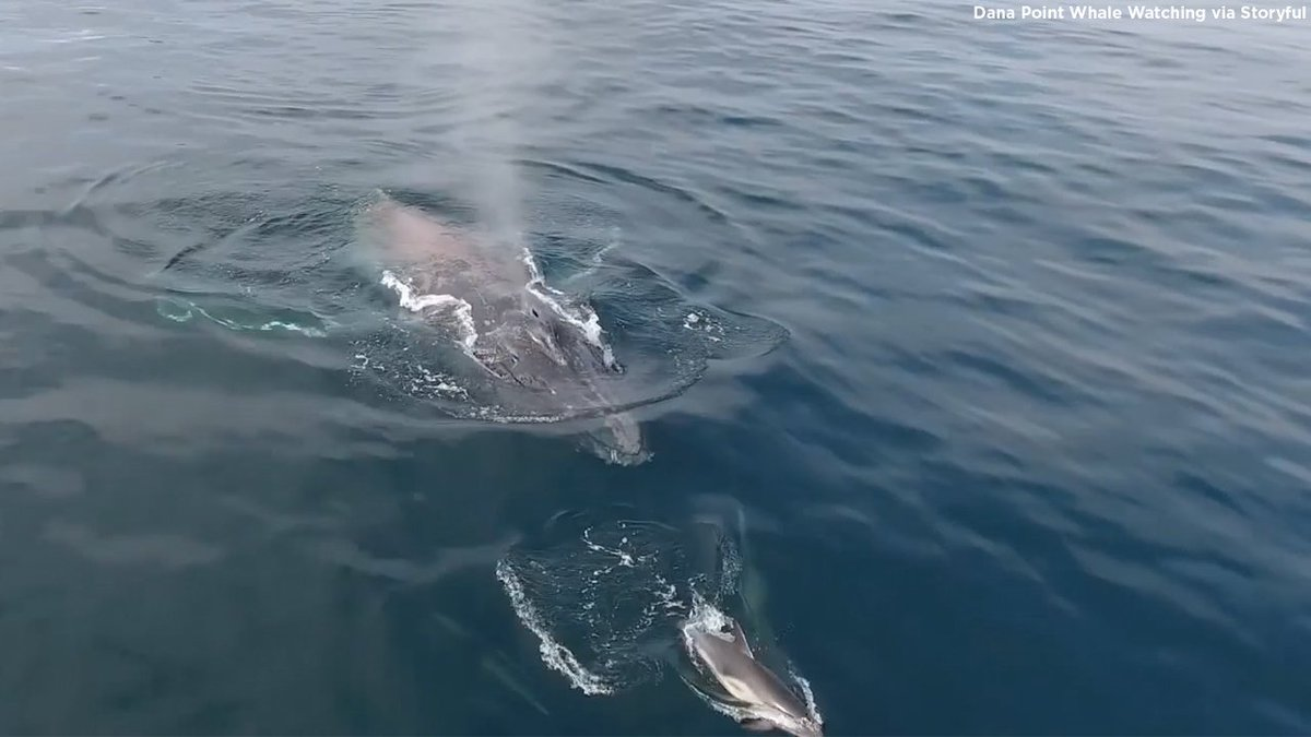 Whale disentangles itself from bait traps off Dana Point coast